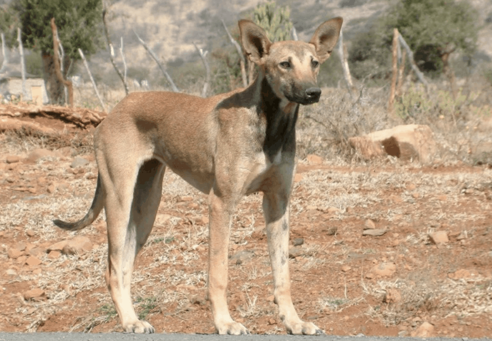 The Indian Pariah is a short and stumpy dog, however, they are lean and muscular.