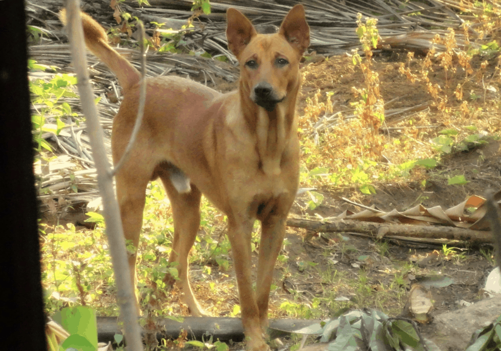 The name of the Indian Pariah Dog gives them a negative look.