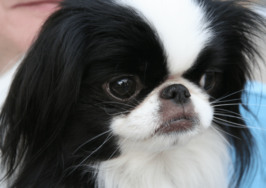 Overall, the Japanese Chin is a very cheerful and friendly dog.