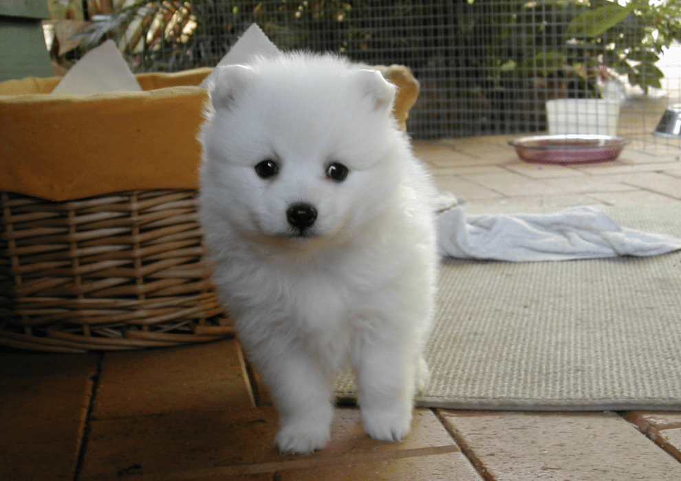 A Japanese Spitz is relatively easy to care for. They require moderate exercise and grooming.