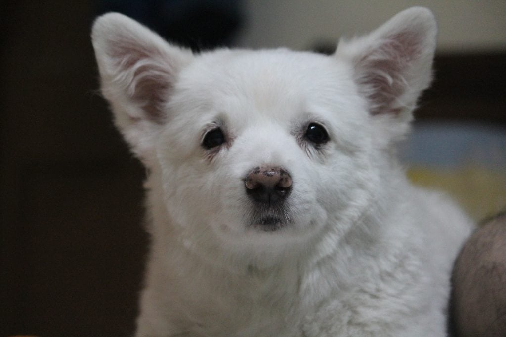 A Japanese Spitz requires a healthy diet in order to avoid common diseases and illnesses.
