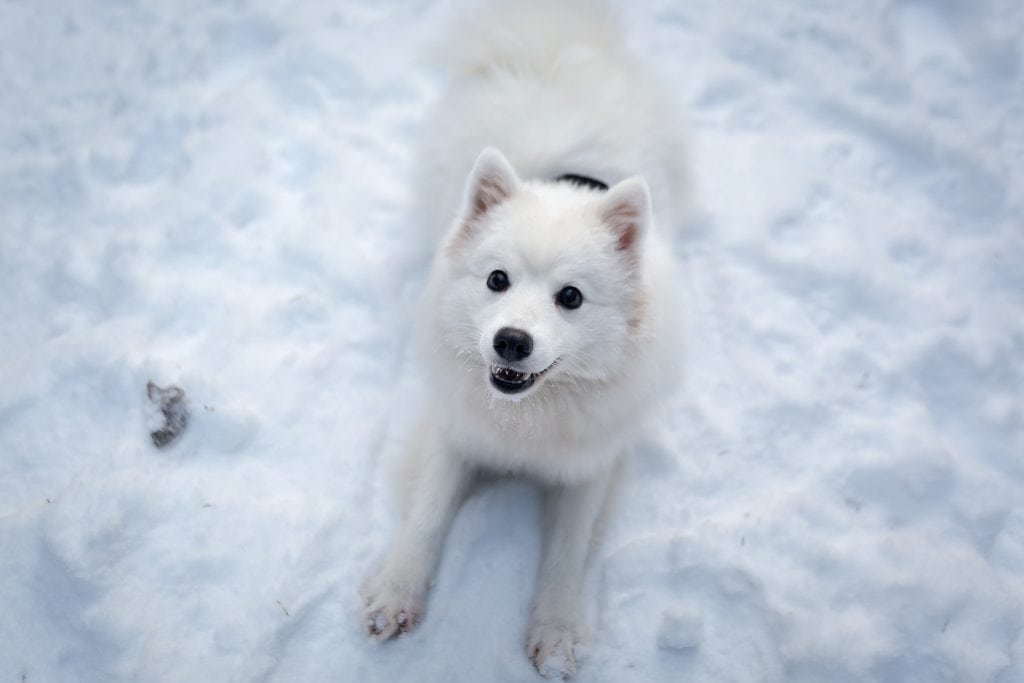 The Japanese Spitz is a companion dog originating from Japan.