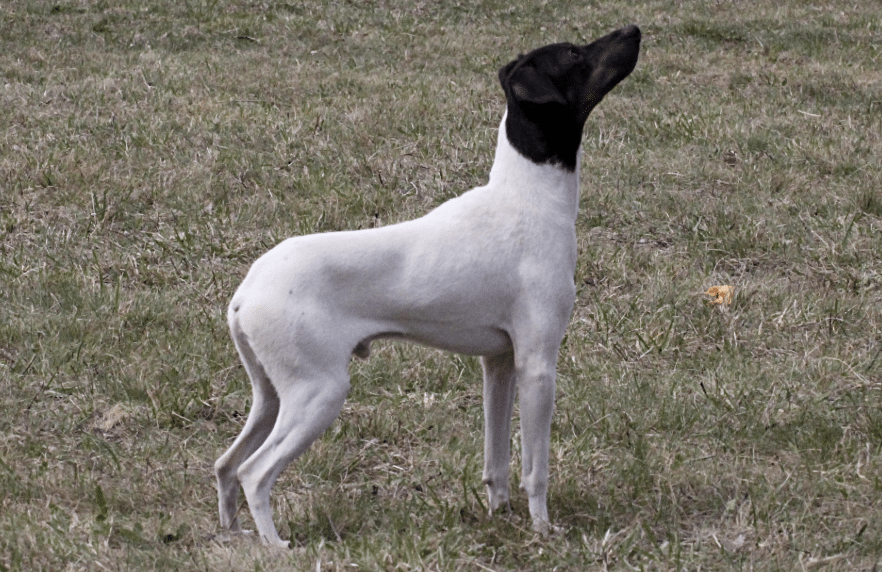 The Japanese Terrier is a cheerful and friendly dog breed.