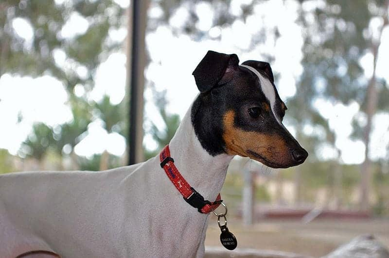 Training a Japanese Terrier is relatively easy, as they are eager to learn and perform tricks.