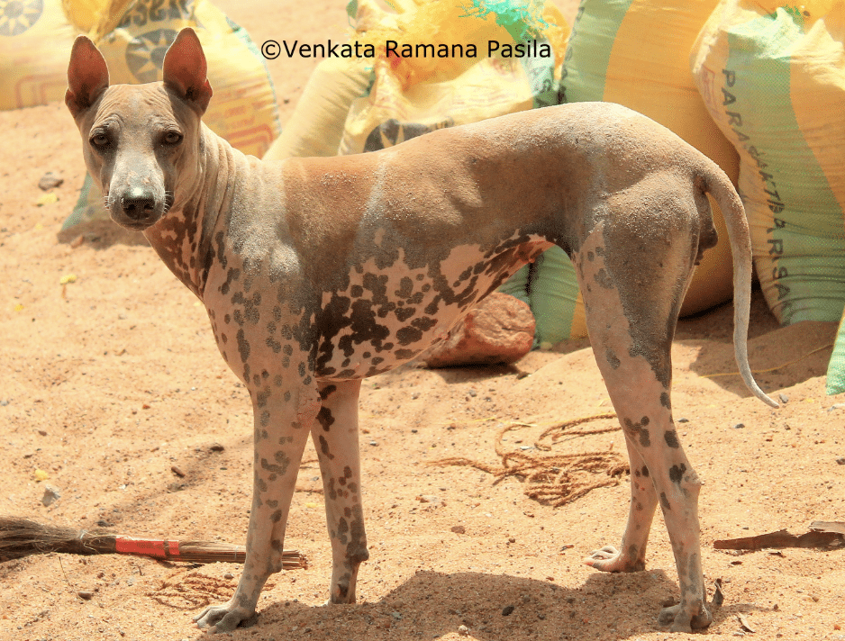 The Jonangi dog has one of the most unique looks among all Indian breeds.