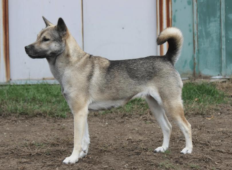 Kishu Inu Temperament History Amp Care Dog Breed Guide