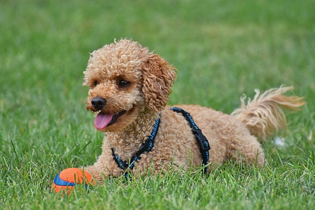 The Poodle from the Non-sporting dog breed category also happen to be the smartest dog breed.