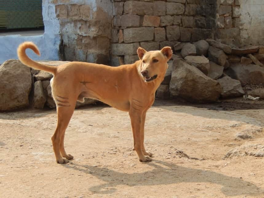 The Pandikona looks like a primitive dog, which they are in India.