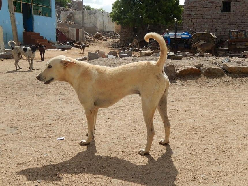 The Pandikona are dogs with strong hunting instincts, but get along very well with humans in a family setting.
