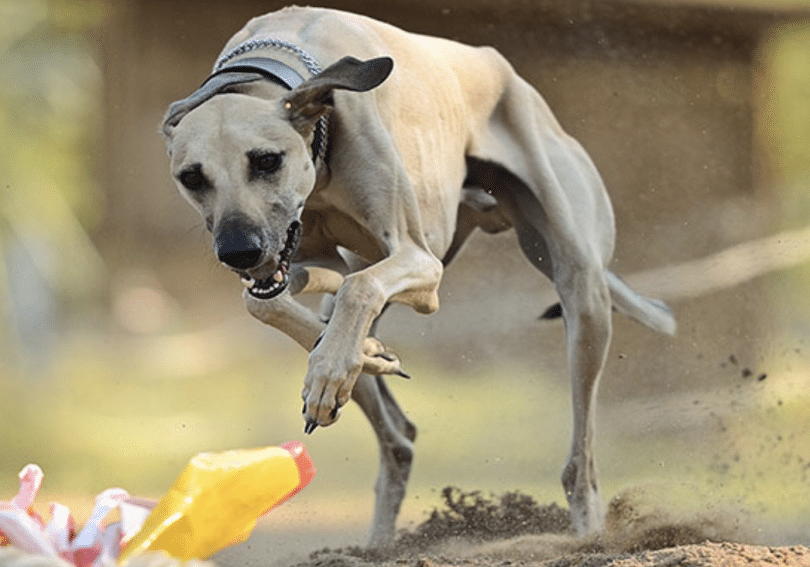 The Rampur Greyhound are fierce hunting dogs from India.