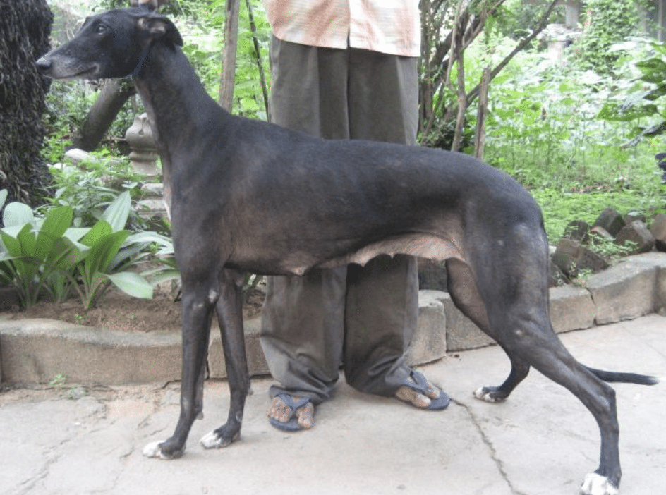 The Rampurs were crossbred through many centuries for the dogs you see today.