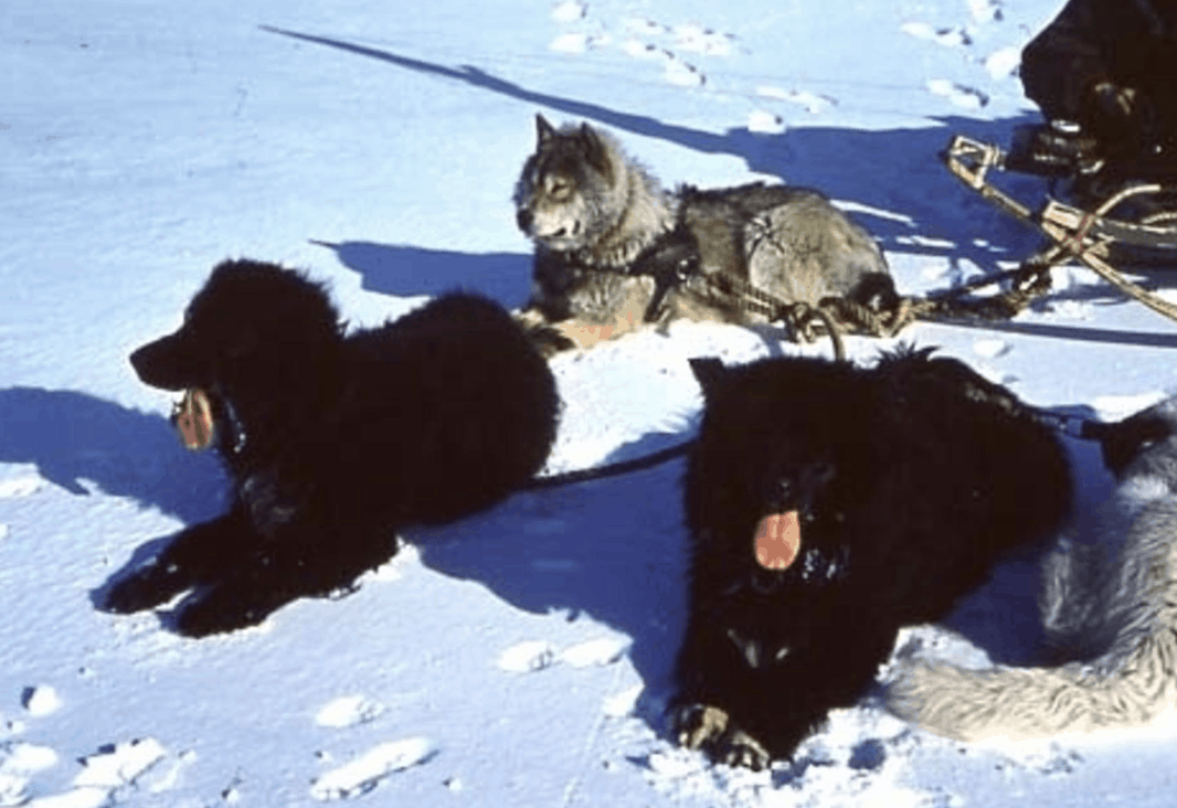 Sakhalin Husky Everything About The Anartica Expedition Sled Dogs