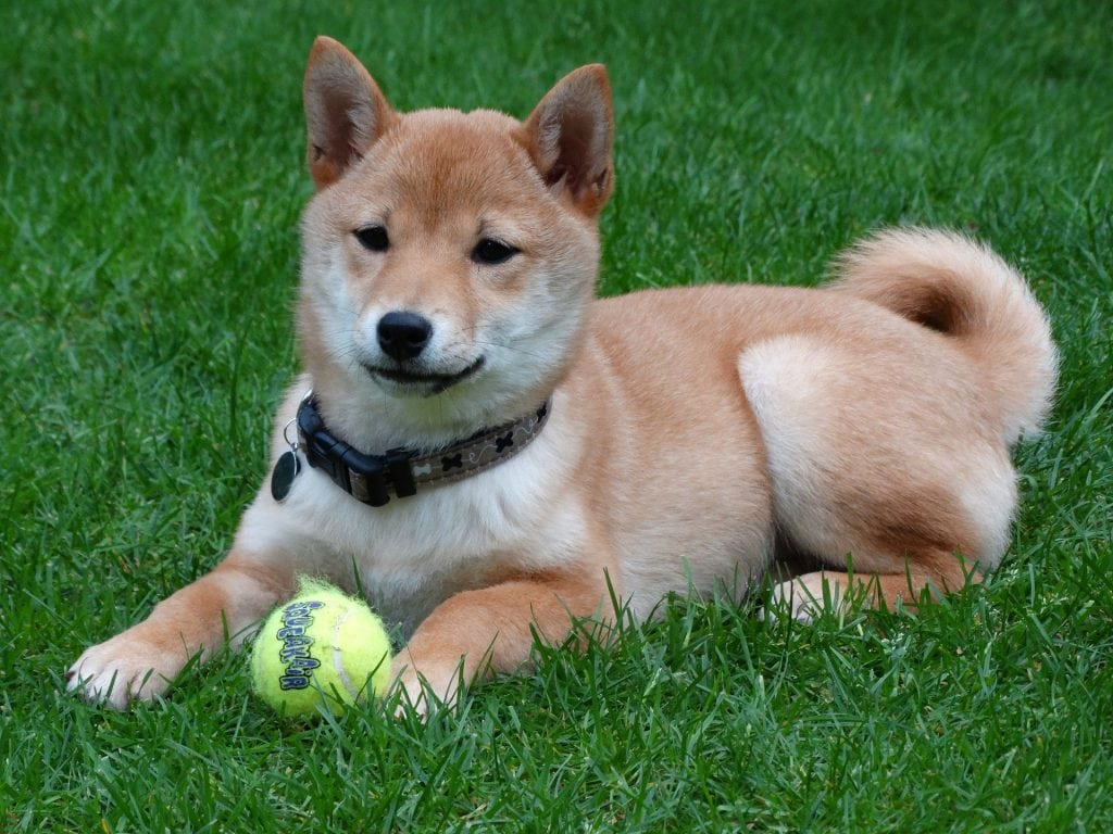 A Shiba Inu requires a moderate amount of care and grooming. They shed a lot.