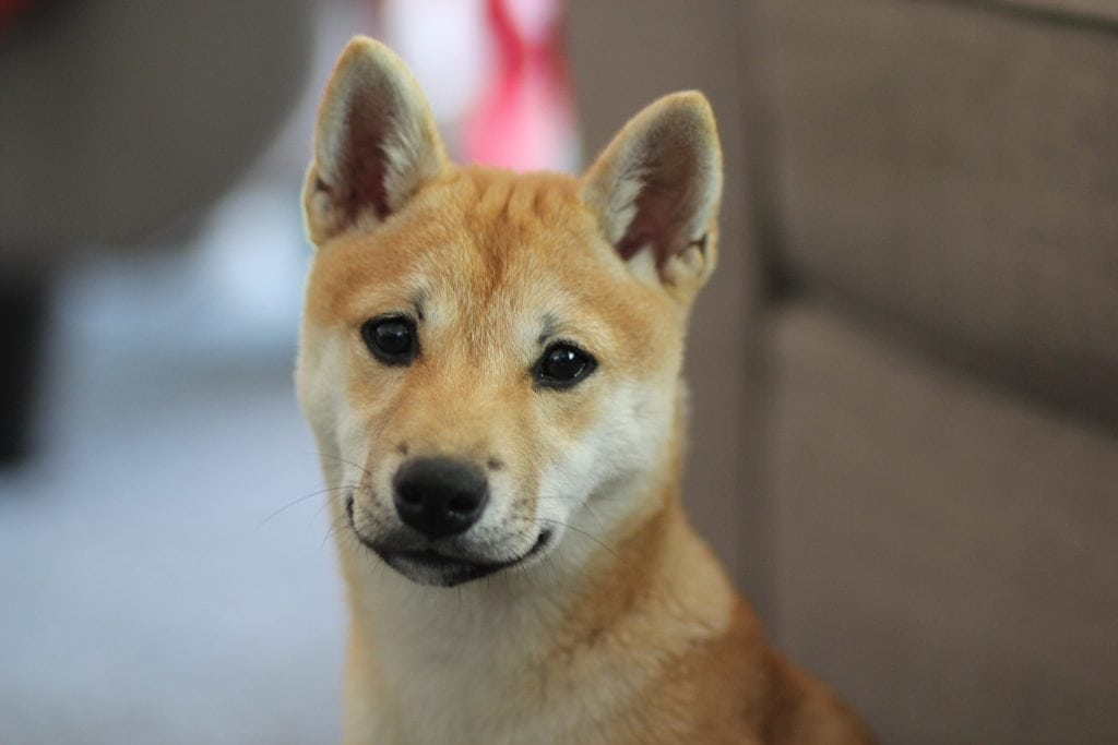 The appearance of the Shiba is very similar to that of the Akita or Shokiku Inu.