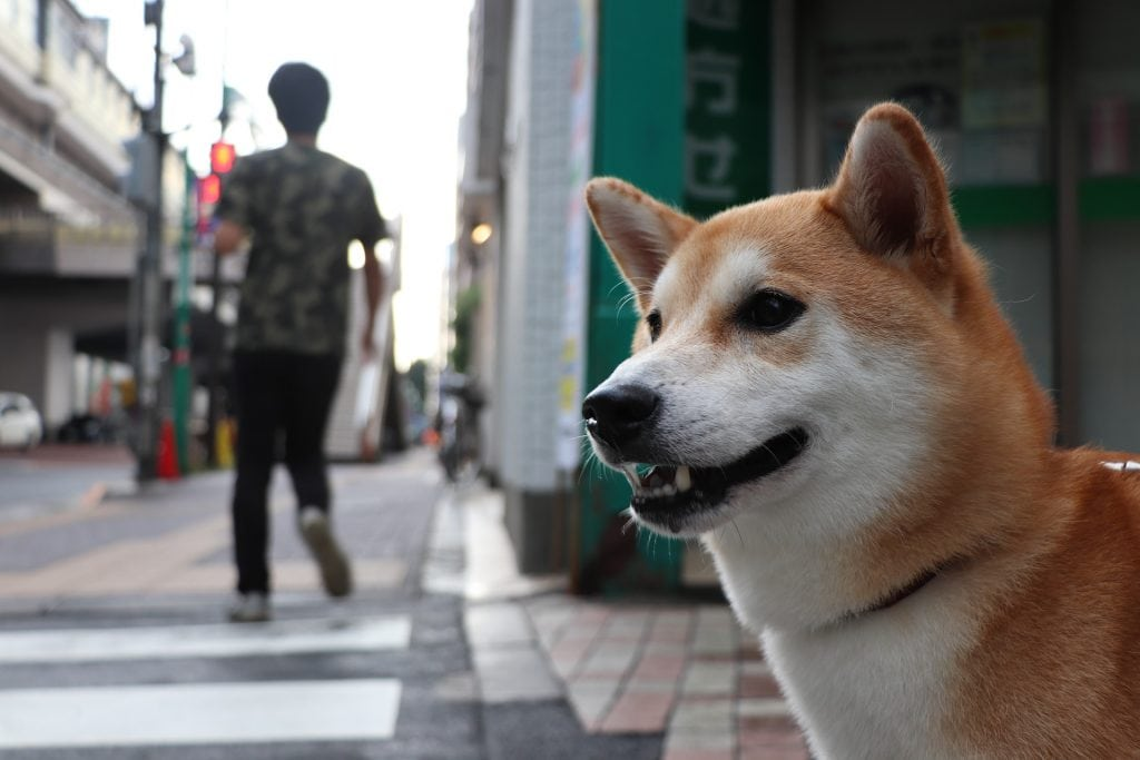 Training a Shiba Inu is relatively easy, as they are highly intelligent dogs.