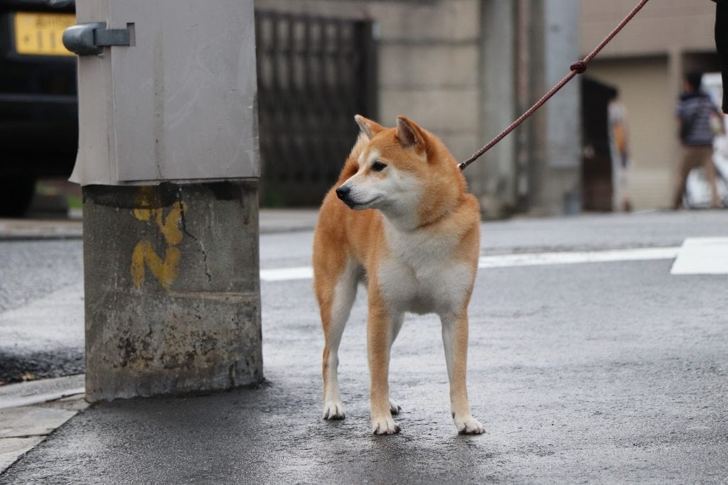 The Shiba is a loyal dog breed with an aloof attitude towards strangers.