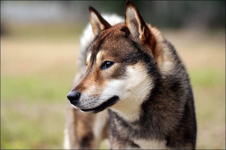 The Shikoku Inu has great temperament, as they are friendly and loyal dogs.