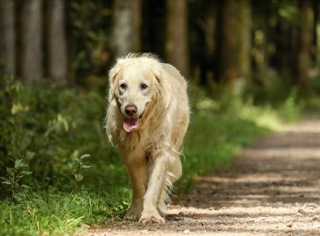 Golden Retrievers are by far the most popular sporting dog breeds.