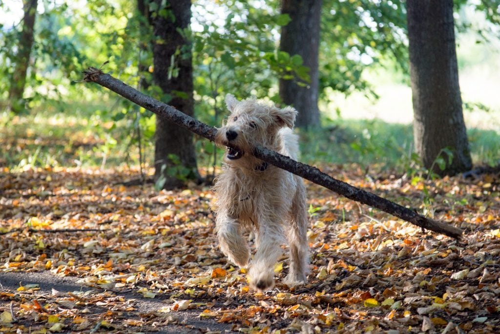All dogs from the terrier breed group have similar physical characteristics.