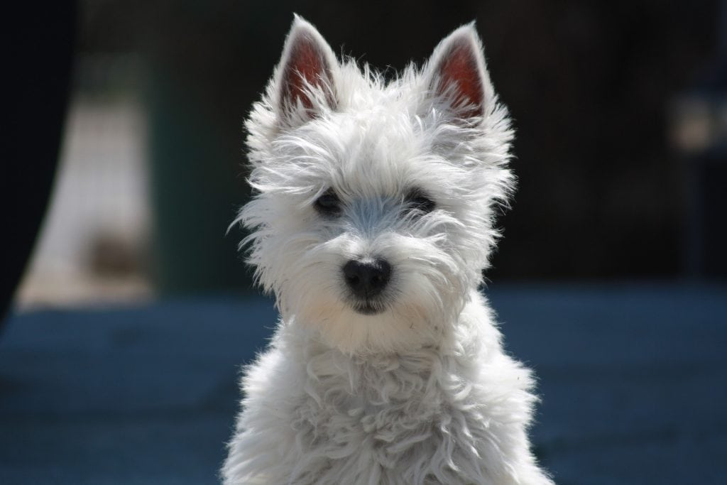 Toy dog breeds are the smallest of all breeds, hence toy dogs.