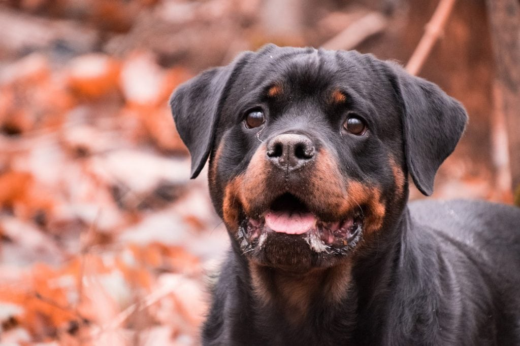 The Rottweilers are the most popular and smartest breed among the working dog breeds.