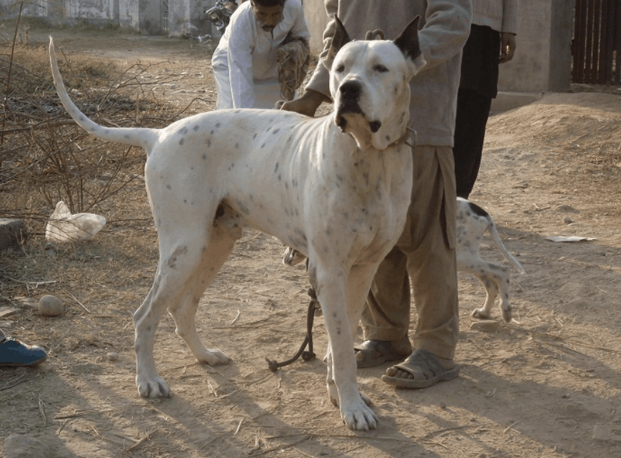 The Bully Kutta has been known to have descended from the Alaunt dogs.