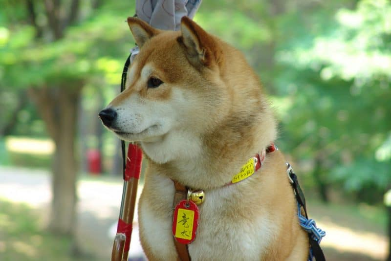 The Hokkaido Inu can be traced to over 3000 years ago, making them arguably the oldest modern dog breed in Japan.