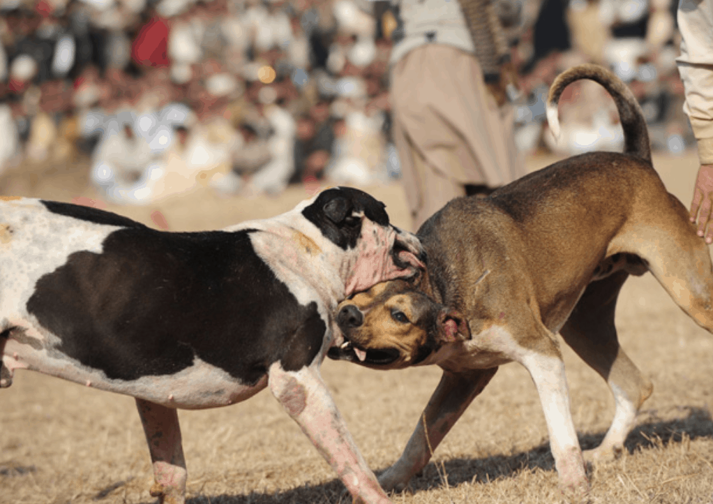 Unfortunately, these dogs are subject to dog fights all over rural regions of India and Pakistan.