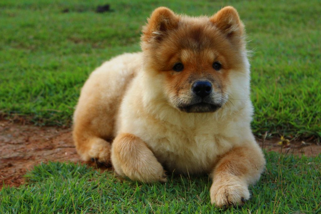 Early socialization is extremely important to ensure a friendly Chow Chow.