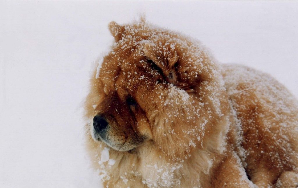 Chow Chow dogs are prone to certain medical diseases and conditions.