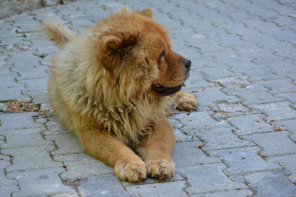 A Chow Chow's diet should consist of mainly high quality protein.