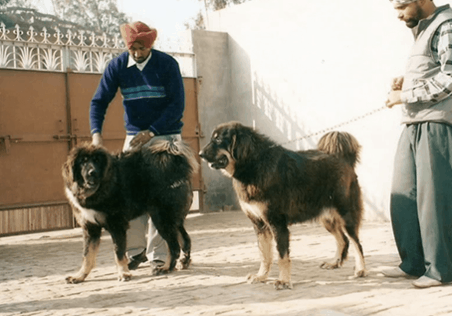 The Gaddi is a relatively independent dog, but they require a lot of grooming.
