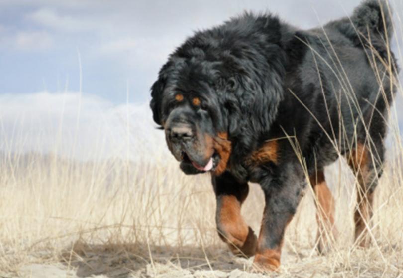 Gaddi Kutta Dog - Temperament, Origins & Care (BREED GUIDE)