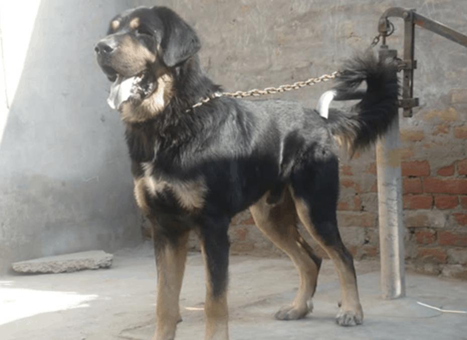 Despite popular belief, the Gaddi can make an excellent family dog.