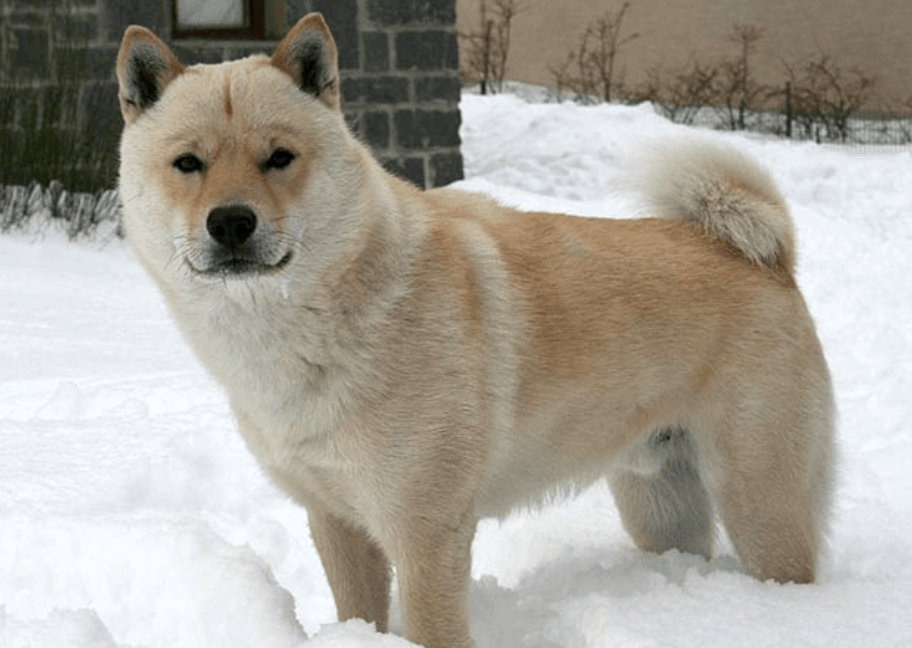 The hardest part of caring for a Hokkaido Inu is grooming, as they have double coats and shed often.