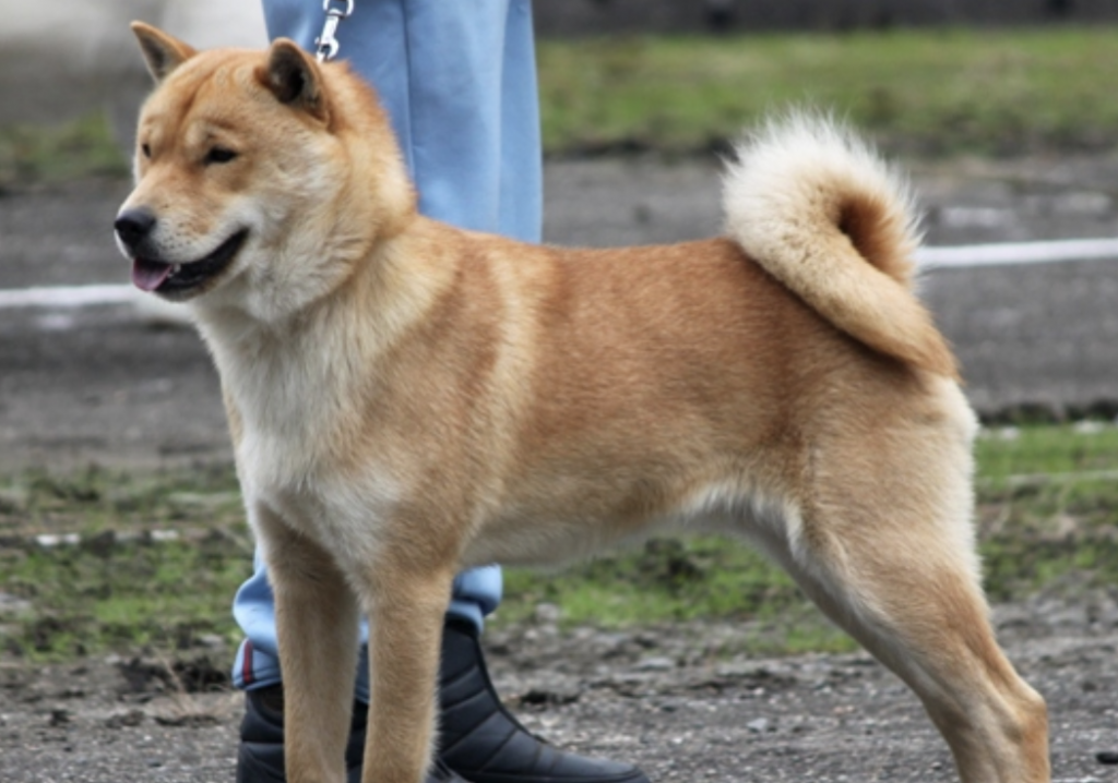 The Hokkaido Inu is loving and friendly, making them excellent family dogs.