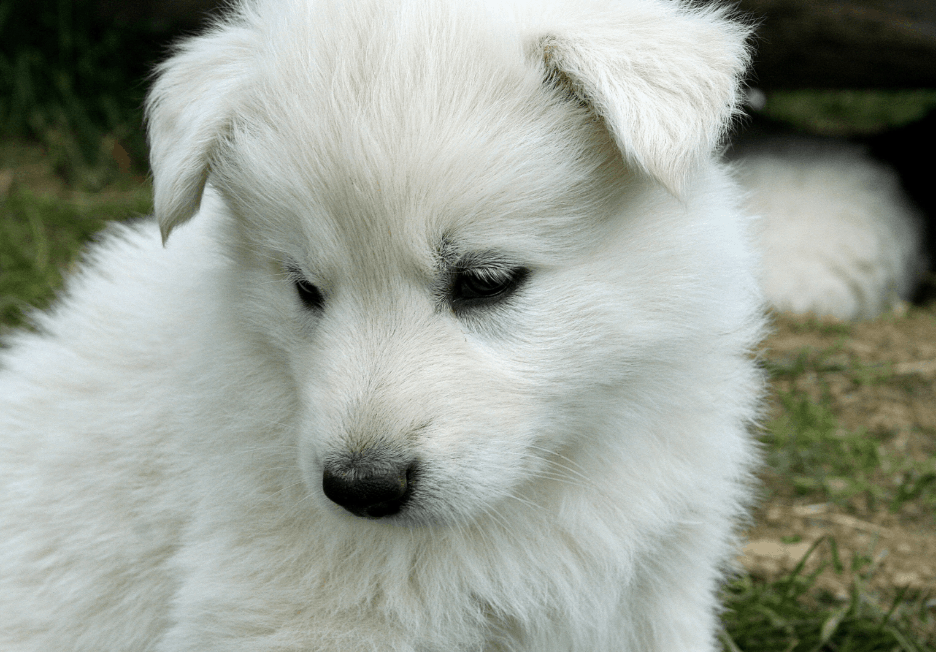 The Indian Spitz has a bright future as ideal family dogs, unlike many other Indian dog breeds.
