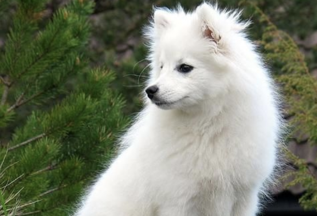 The Indian Spitz is one of the most popular dog breeds in India.