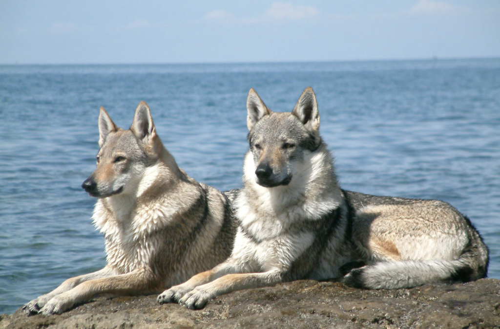 The Kunming Wolfdog was originally derived from the German Shepherd.