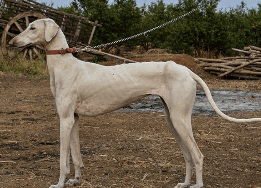 The Mudhol resembles very closely to a Chippiparai dog.