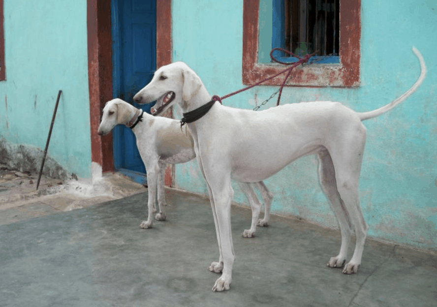 The Mudhol Hound can experience a lot of anxiety unless properly socialized early on.