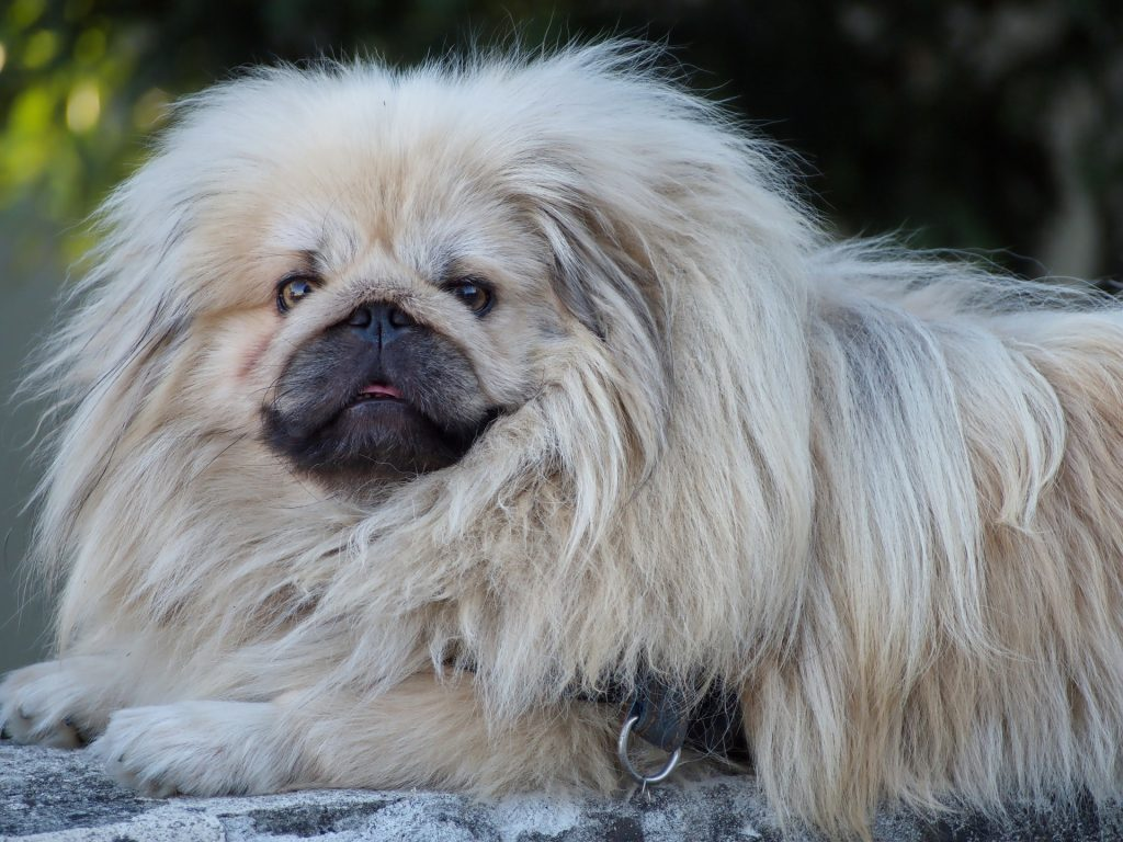 A Pekingese needs a normal diet schedule like all dogs.