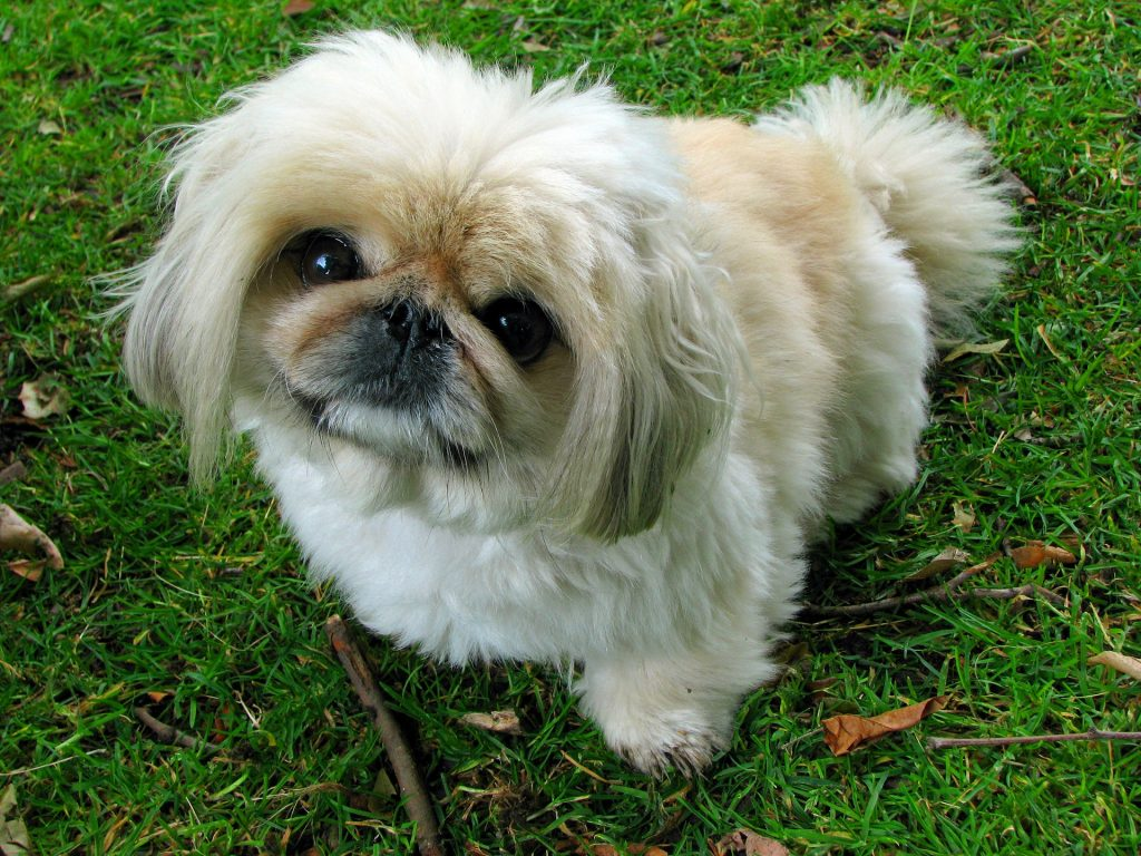 The Pekingese is relatively unhealthy and are prone to many health problems.