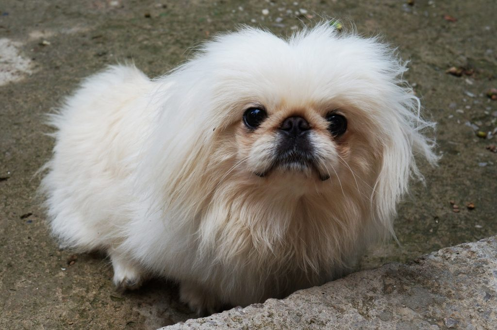 The Pekingese is one of the most unusual looking Chinese dog breed.
