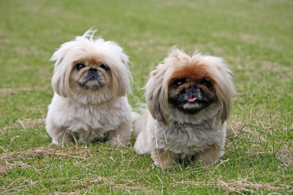 The Pekingese originated from ancient China as the royal dog breed of the Tang Dynasty.