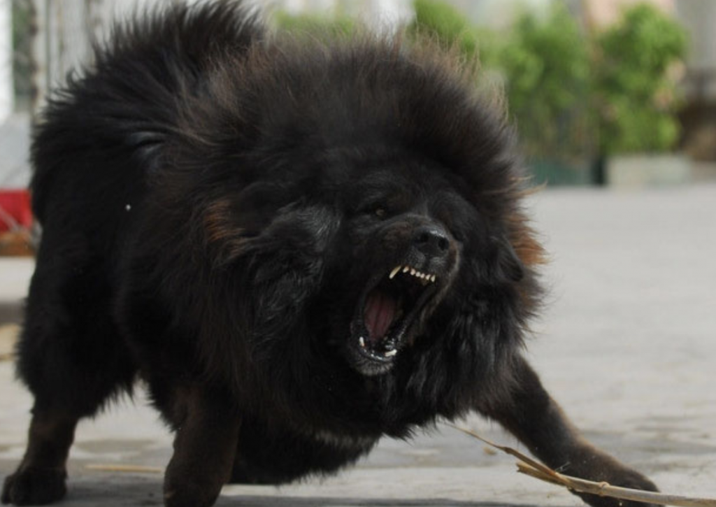 The Tibetan Mastiff is a fierce dog, making them perfect as guardians of your home.