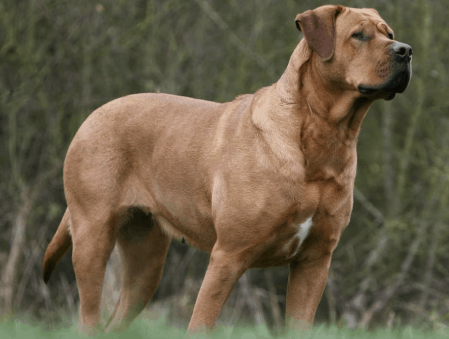 The Tosa Inu you see today is a cross from many different European dog breeds.