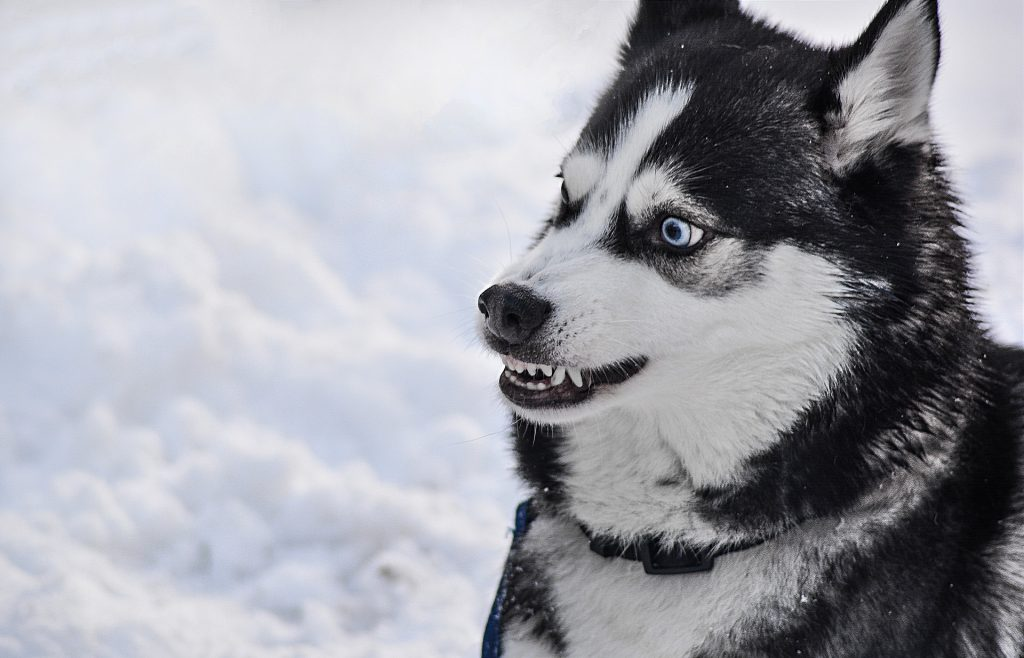 Huskies are generally fun and loving dogs, but can also be aggressive and dangerous.