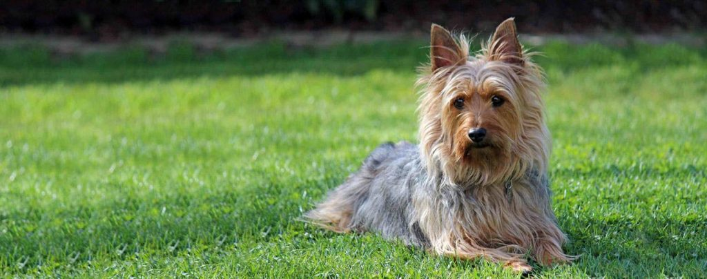 silky terrier hypoallergenic 55 hypoallergenic dog breeds for sensitive owners full list 7474