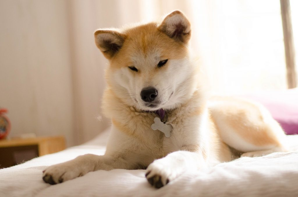 The Akita Inu is the most dangerous dog to originate from Japan.